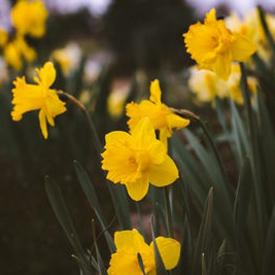 daffodils 275 unsplash