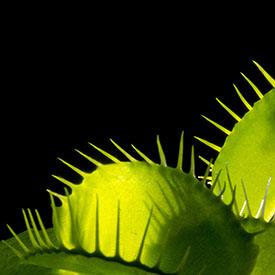 image17-venusflytrap-275px