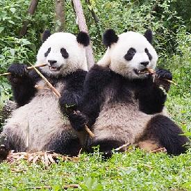 panda2-275px