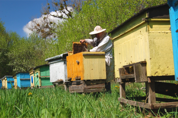 Beekeeper tending to bee hives