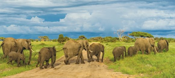 herd of elephants africa 580 260