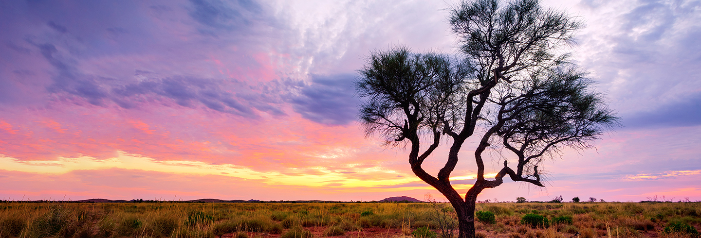 A Hakea tree stands alone in the Australian outback during sunset