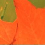 leaf-150px