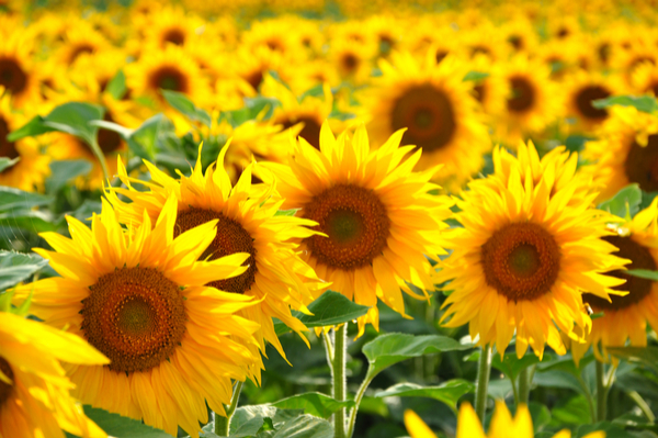 Image of field of sunflowers